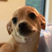 bedlington terrier seattle bedlington terrier dogs for adoption in usa