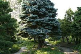 how to grow a blue spruce evergreen tree home guides sf gate