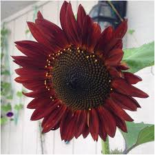 25 unique black sunflower seeds ideas on pinterest red