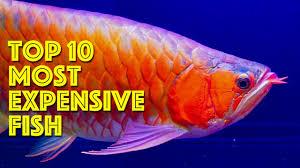 Buy Ornamental Fish Top 10 Most Expensive Aquarium Fish