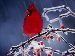 red cardinal birds u2013 1080p hd wallpaper 1920x1080 aves