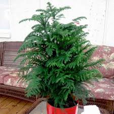 christmas plant buy christmas tree plant online at nursery live best plants at
