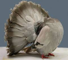 9 and beautiful fancy pigeons mental floss