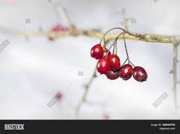 twig frosted hawthorn berries image u0026 photo bigstock