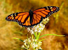 scientists say decline in monarch butterflies brings risk of