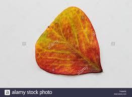 shamrock plant leaf stock photo royalty free image 92214738 alamy