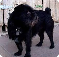 affenpinscher at westminster the cutest dogs of the 2016 westminster dog show dog animal and cat