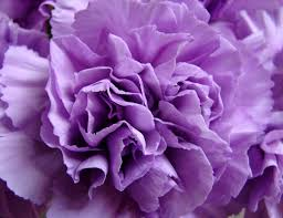 purple carnations purple carnation imagery of light