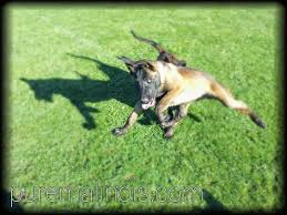 belgian sheepdog oregon akc belgian malinois puppies for sale in california u2013 puremalinois
