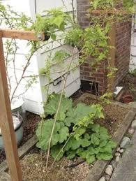 Trellis Seattle Raspberry Trellis System Gardening Pinterest Gardens