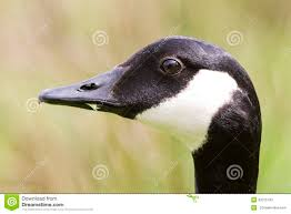 Muted Green by Canada Goose Side Profile Portrait Stock Photo Image 43315742