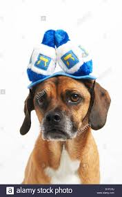 chanukah hat puggle in hanukkah hat stock photo royalty free image 52585110 alamy