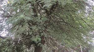 babul tree can be grown in any types of soil has medicinal uses