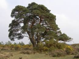scots pine scotch pine tree properties and facts coniferous forest