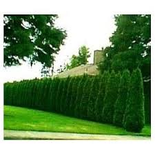 Tree Ideas For Backyard Cool Privacy Trees For Backyard In Best 25 Privacy Trees Ideas On