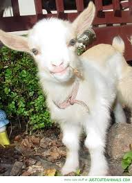 Billy Goat Meme - cute goat pictures impremedia net