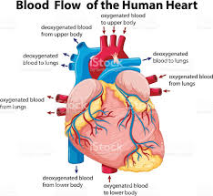 Borders Of The Heart Anatomy Diagram Showing Blood Flow In Human Heart Stock Vector Art