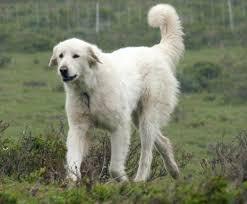 top guard dog breeds dog breeds puppies top guard dog breeds