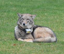 Rhode Island wild animals images Cliff the coyote receives stay of execution jpg