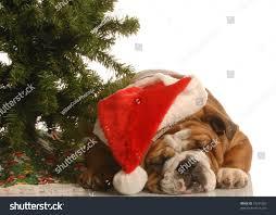 english bulldog wearing santa hat sleeping stock photo 19341583
