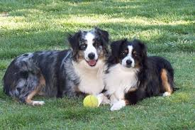 australian shepherd dog for sale mini australian shepherds puppies breeder sales elk grove