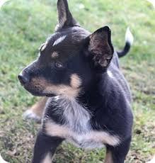 australian shepherd rottweiler mix puppies for sale bailey adopted puppy la habra heights ca german shepherd