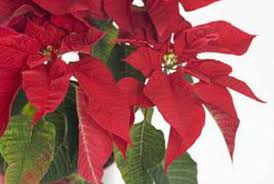 Pointsettia Caring For A Poinsettia With Dropped Leaves Home Guides Sf Gate