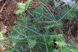 manitoba native plants canada yew new hampshire garden solutions