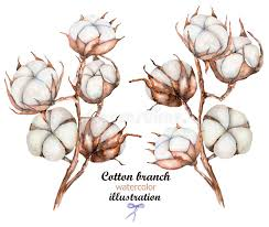 cotton flowers collection of illustrations of watercolor cotton flowers branches