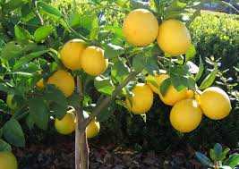 When Does A Lemon Tree Produce Fruit - oranges investment goldenscape tree africa