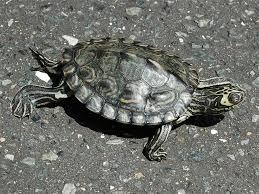 map turtle barbour s map turtle care and history
