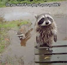 Raccoon Meme - 13 hilarious raccoon memes cutesypooh