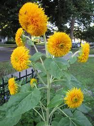 teddy sunflowers a corner garden september s bloomin tuesday