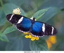 small blue grecian butterfly stock photos small blue grecian