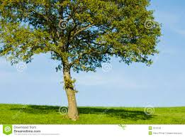 single young oak tree royalty free stock images image 3373159