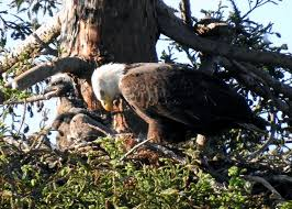 bald eagle hatches in milpitas and the public goes nuts sfgate