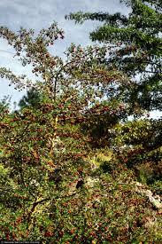 native nevada plants large image for prunus subcordata klamath plum usda plants