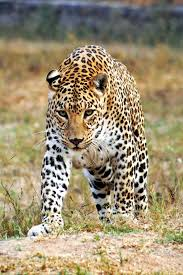 leopards and luxury on sri lanka u0027s tea trail travel the times
