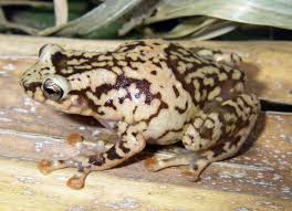 chytrid fungus frogs are green