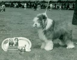 belgian sheepdog origin old english sheepdog history u0026 training temperament