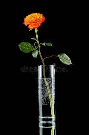 Single Stem Glass Vase Single Orange Rose In Glass Vase Stock Photo Image 51417791