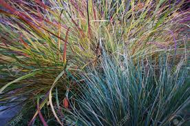 ornamental blue oat grass and panic grass in garden with emphasis