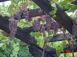 Grape Vine Pergola by Wineries