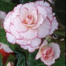 mardi gras roses begonia mardi gras blackmore langdon white flower farm