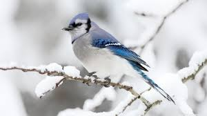 photo collection winter bird wallpaper with