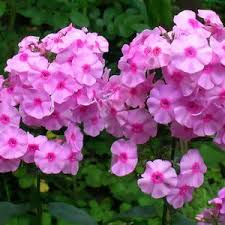 phlox flower phlox care in summer and winter for this perennial or