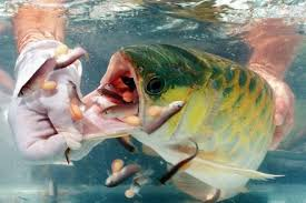ornamental fish aquarium guidelines arowana fish hatchery