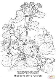 coloring pages hawthorn