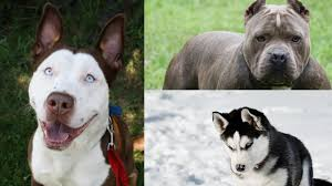 bulldog y boxer perros mestizos cruce de razas que te enamorarán fotogalerías