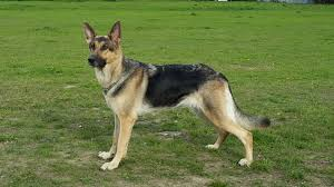 belgian sheepdog national specialty 2014 german shepherd wikiwand